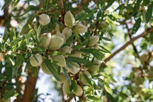 Closeup of Almonds on Tree